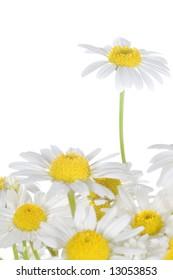 Beautiful Daisies close-up