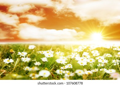 Beautiful daisies in the field at sunset