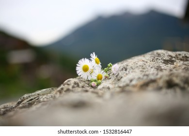 Beautiful daisies lie on a stone against the backdrop of the mountains. A petting with white petals without focus on a stone in the wild. Nature blurred background with flowers.