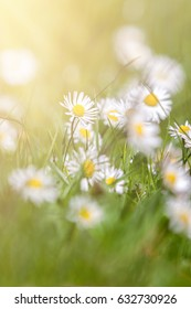 Beautiful daisies on the green grass with sun ray