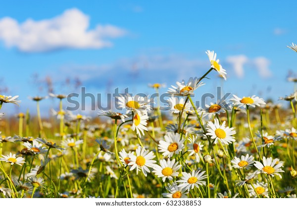 beautiful daisies on a sunny spring meadow
