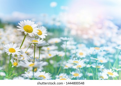 Beautiful daisies in the sun. Summer bright landscape with daisy wildflowers in the meadow. Summer background with wildflowers.