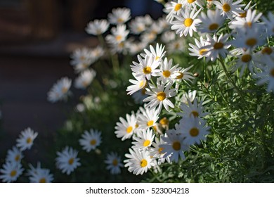 beautiful daisy/ chamomile/ camomile / white flower in close up