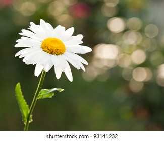 Beautiful daisy flower on spring green natural background