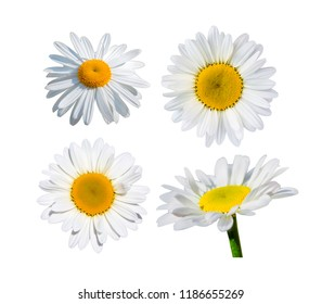 Beautiful daisy flower on white background