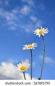 Beautiful daisy flowers against the sky