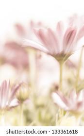 Beautiful daisy flowers fields, gentle pink flowers, soft focus, warm spring nature, tender wildflower