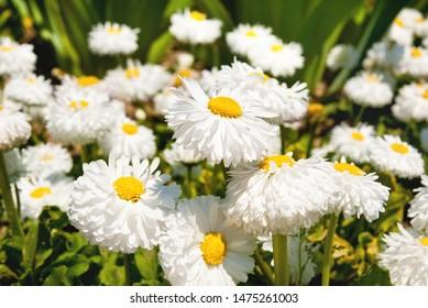 beautiful daisy flowers in a garden