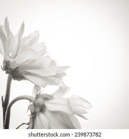 Beautiful daisy flowers on white background - black and white image.