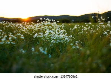 Beautiful daisy flowers in sundown light