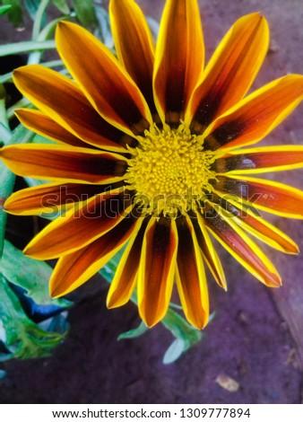 beautiful daisy fresh flower