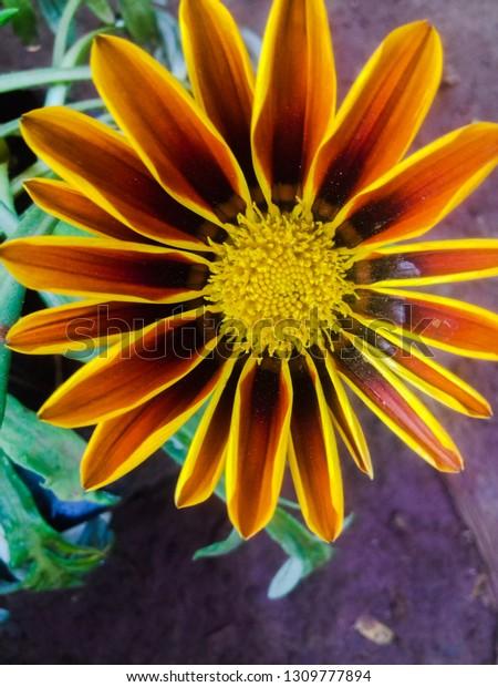 beautiful-daisy-fresh-flower-600w-130977