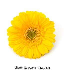 Beautiful daisy gerbera flower isolated on white background