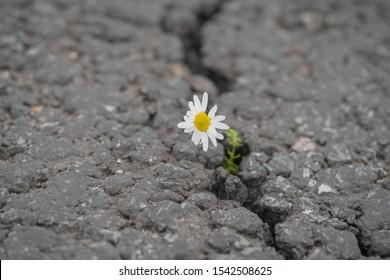 beautiful daisy grows through a crack in the asphalt
