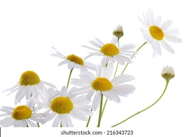 The beautiful daisy isolated on white background