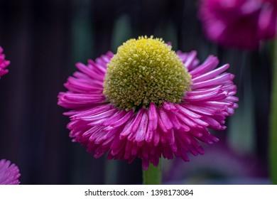 beautiful daisy macro in the garden