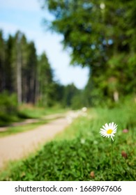 Beautiful daisy on the roadside on a warm summer day in estonia. Selective focus and shallow depth of field.