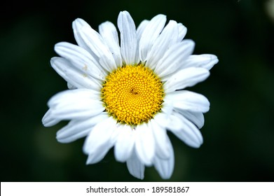 Beautiful Daisy with selective focus of yellow pollen center...