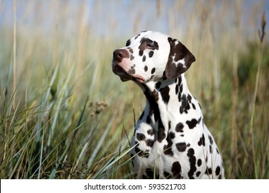 Beautiful Dalmatian dog in the grass