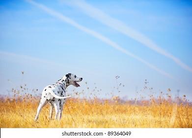 Beautiful Dalmatian dog portrait in a field