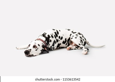 Beautiful Dalmation Dog lying down