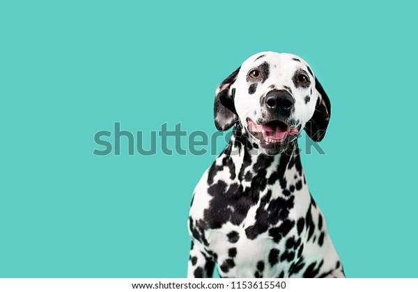 Beautiful Dalmation Dog on Colored Background