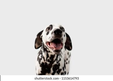Beautiful Dalmation Dog on Isolated Background