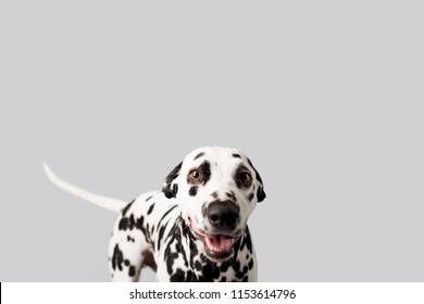 Beautiful Dalmation Dog on Isolated Background