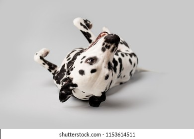 Beautiful Dalmation Dog Rolling