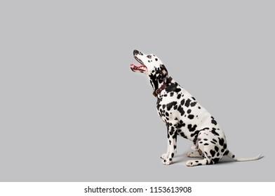 Beautiful Dalmation Dog Sitting Down on Isolated Background
