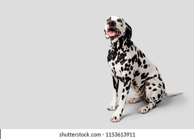 Beautiful Dalmation Dog Sitting Down on Isolated Background
