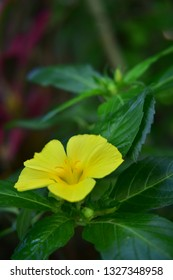 a beautiful damiana