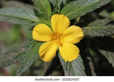 beautiful damiana flower