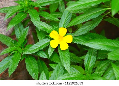 beautiful damiana flower