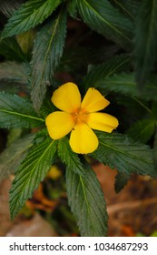 beautiful damiana flower with green leaves