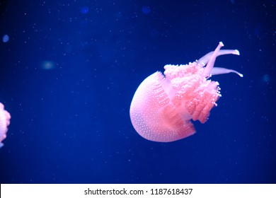 Beautiful Dancing Jellyfish