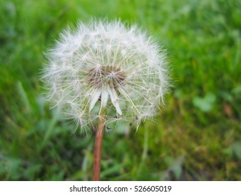 Beautiful dandelion among green grass