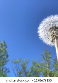 Beautiful dandelion with blue sky