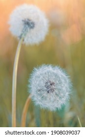 Beautiful dandelion flower with shallow focus in springtime, natural spring background. Blooming meadow.