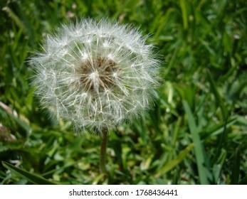 beautiful dandelion on the grass, nature photo