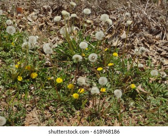 A beautiful dandelion patch on a bright and sunny day. East Tennessee, USA.