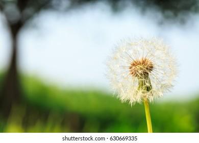 beautiful dandelions in green field