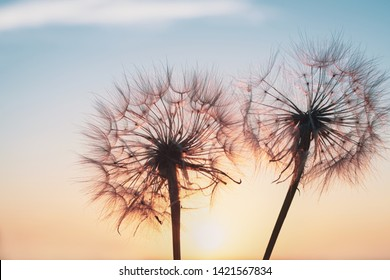 Beautiful dandelions, yellow salsify, against the sunset sky.