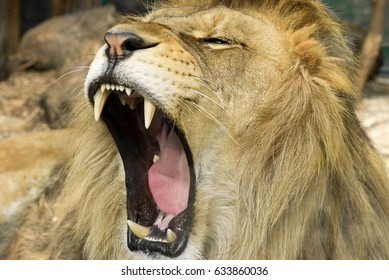 Beautiful and dangerous Lion close up