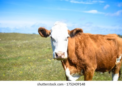 Beautiful danish cow herder in a green grass field with blue sky in Denmark.