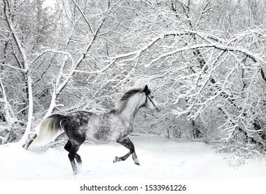 Beautiful dapple gray horse galloping in winter woods