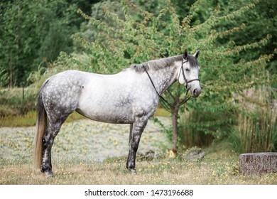 Beautiful Dappled Grey Horse in Pasture