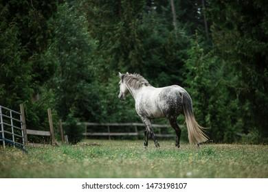Beautiful dappled grey horse running
