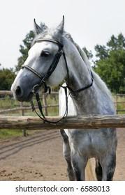 beautiful dappled horse