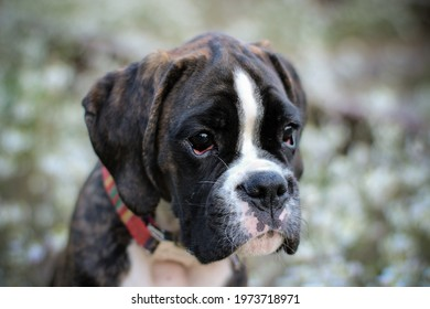 Beautiful dark brindle boxer puppy with white flowers